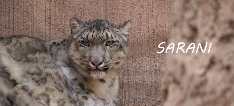 Sarani Snow Leopard