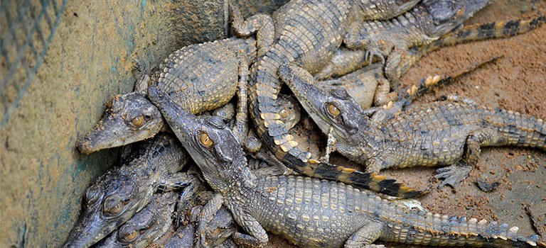 West African slender-snouted crocodile babies
