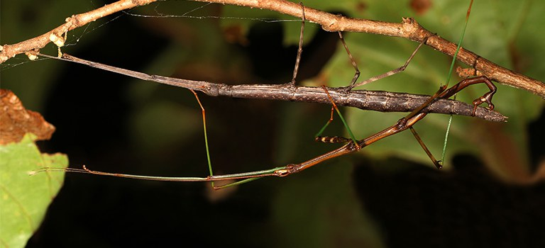 Mating walking sticks, photo Judy Gallagher, flickr.