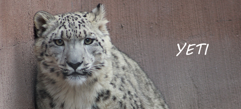 Yeti Snow Leopard