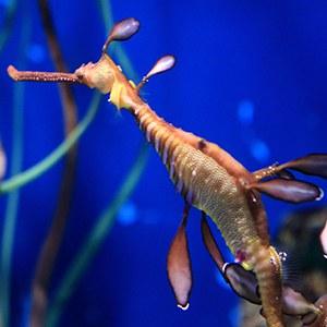 Weedy Seadragon Headshot Aquarium Yearbook