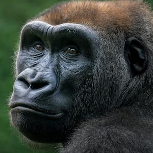 Western Lowland Gorilla Headshot Animal Yearbook