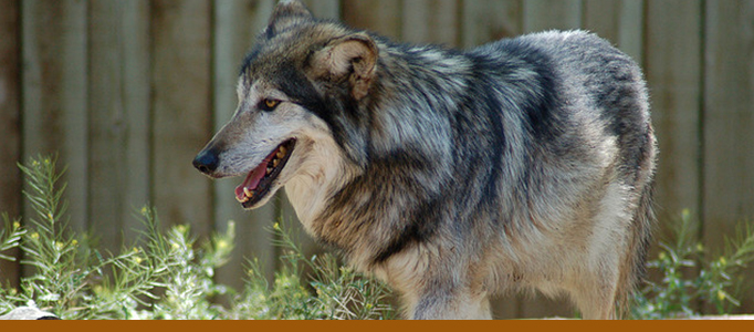 wolf banner, pic from 2007