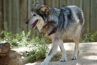 caption:An image of a Mexican gray wolf at the ABQ BioPark.