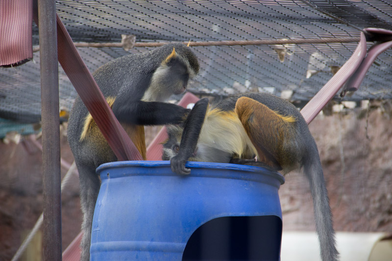 Wolf's guenon grooming