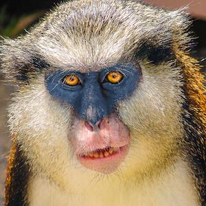 Wolf's Guenon Headshot Animal Yearbook