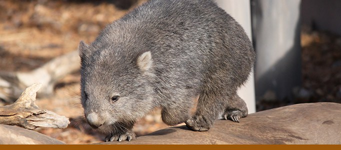 Wombat banner