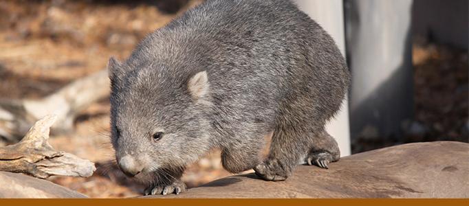 wombat banner - photo 2011