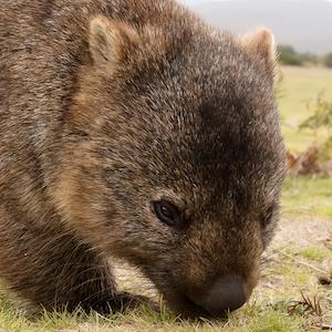 Wombat Headshot Animal Yearbook