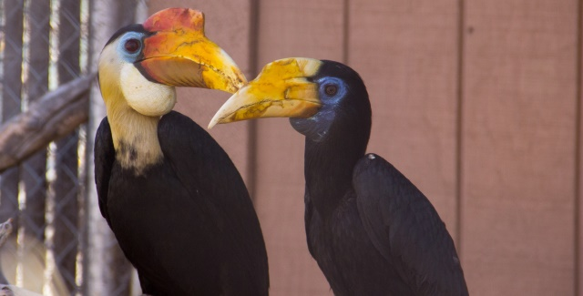 Wrinkled hornbill couple at the ABQ BioPark Zoo. BioPark photo.