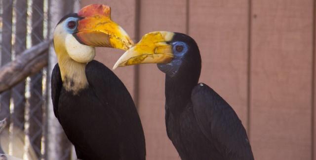 Wrinkled hornbill couple at the ABQ BioPark Zoo. BioPark photo.