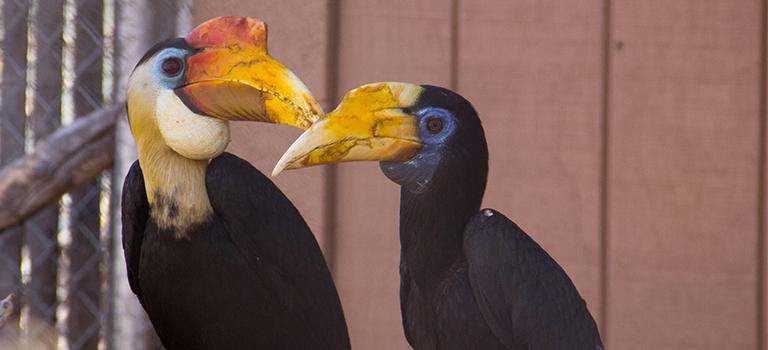 Wrinkled hornbill couple