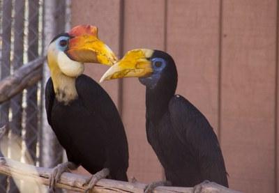 wrinkled-hornbill-couple