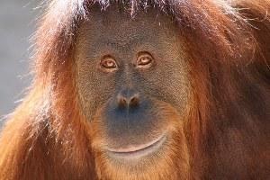 Orangutan - Year at a Glance