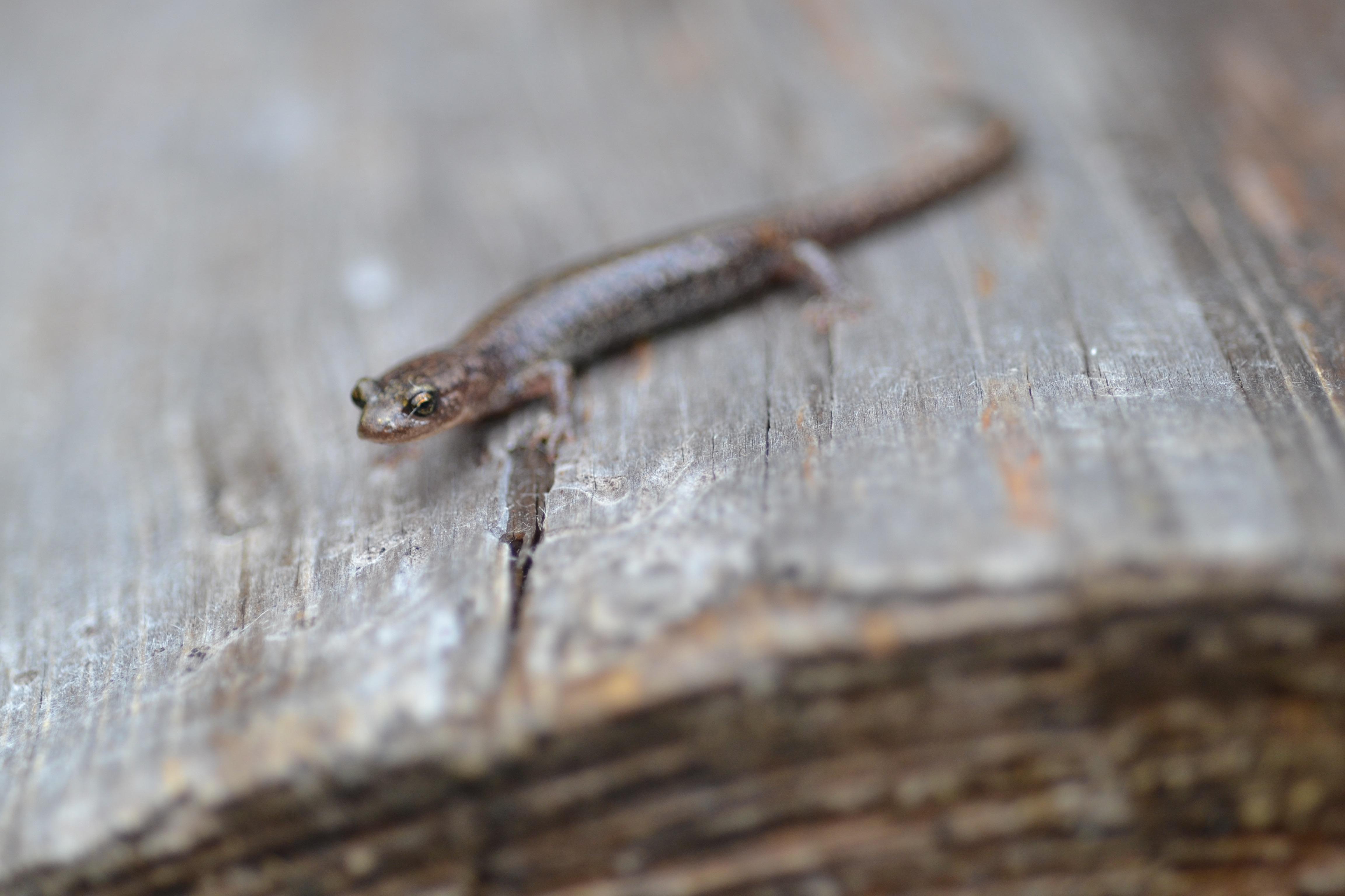 Sacramento Mountain salamander face
