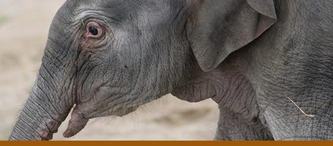 banner-baby-elephant