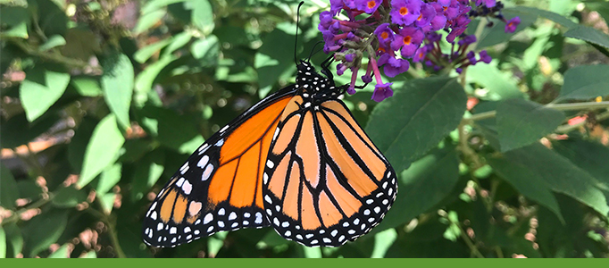 monarch-butterfly-botanic-garden