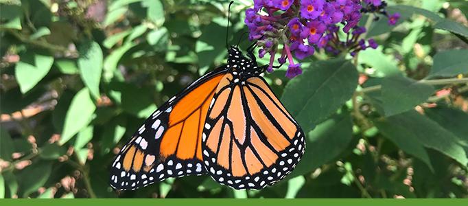 monarch-butterfly-botanic-garden