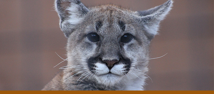 Mountain Lion Banner Larabee Cub 2020