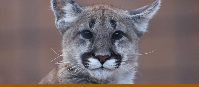 Mountain Lion Banner Larabee Cub 2020