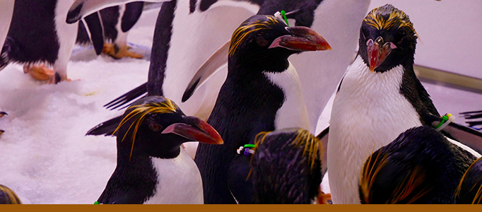 Macaroni and Gentoo Penguins at Penguin Chill