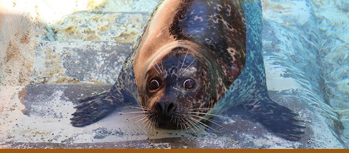 harbor-seal-biopark-feisty
