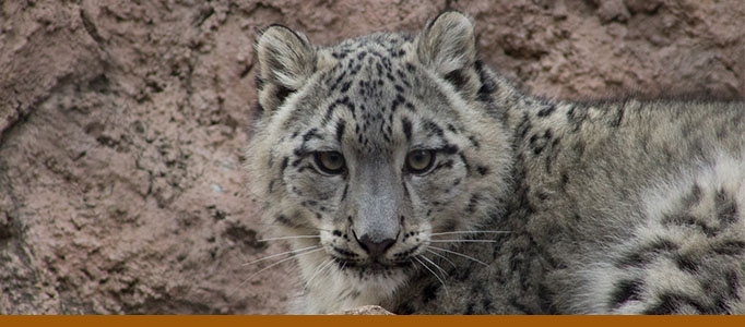 Zoo page panner, snow leopard Karli. Photo: Tina Deines