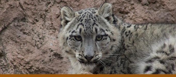 Zoo page panner, snow leopard Karli. Photo: Tina Deines