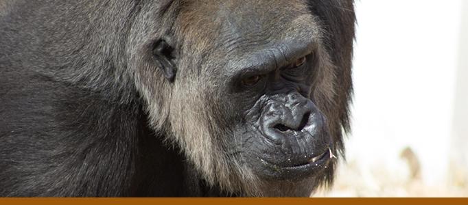 Gorilla photo by Tina Deines