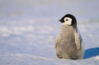10 Cool Facts About Penguins