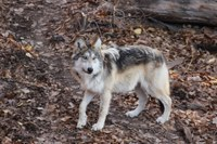ABQ BioPark Continues Legacy to Conserve  New Mexico Native Mexican Gray Wolves