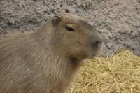 ABQ BioPark loses Francis the capybara