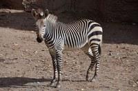 ABQ BioPark Says Goodbye to Genade the Hartmann's mountain zebra