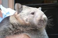 ABQ BioPark Says Goodbye to Womona the Wombat