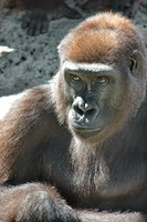 ABQ BioPark Welcomes New Gorilla, Says Farewell and Good Luck to Gorillas and Giraffes