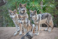 In Boost to Conservation of Endangered Species, ABQ BioPark's Wolf Pack to Be Released Into the Wild