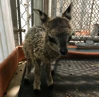 Baby Klipspringer Born at the ABQ BioPark Zoo