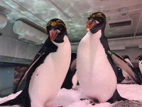 Baby Macaroni Penguins on the Way!
