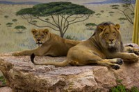 Get to Know the ABQ BioPark's Lions