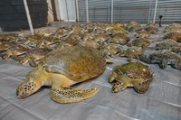 Help Us Save the Lives of Thousands of Sea Turtles