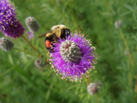 Native Plants for Pollinators