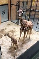 New Baby Giraffe at the ABQ BioPark Zoo