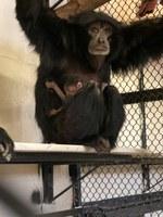 New Siamang Baby at the ABQ BioPark Zoo