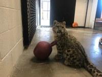 New Snow Leopard