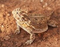 New Texas Horned Lizards