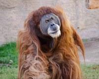 Orangutan Update