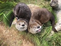 Otters Make Themselves at Home