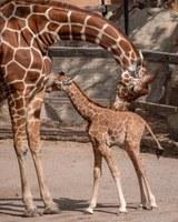 Reticulated Giraffe Camilla Gives Birth to Healthy Female Calf