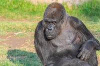 The ABQ BioPark is deeply saddened by the passing of beloved gorilla Huerfanita
