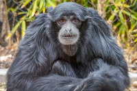 The ABQ BioPark is heartbroken at the unexpected death of siamang Brian